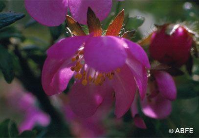 Dog Rose - 15 ml  - Floressência