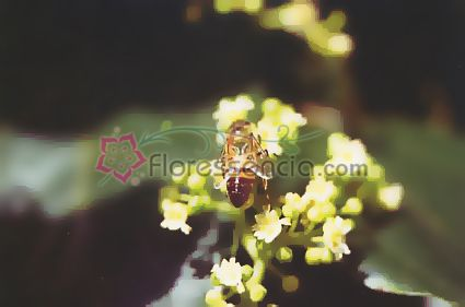 Dulcis - 10 ml  - Floressência