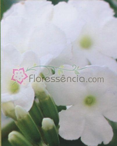 Duranta - 10 ml  - Floressência