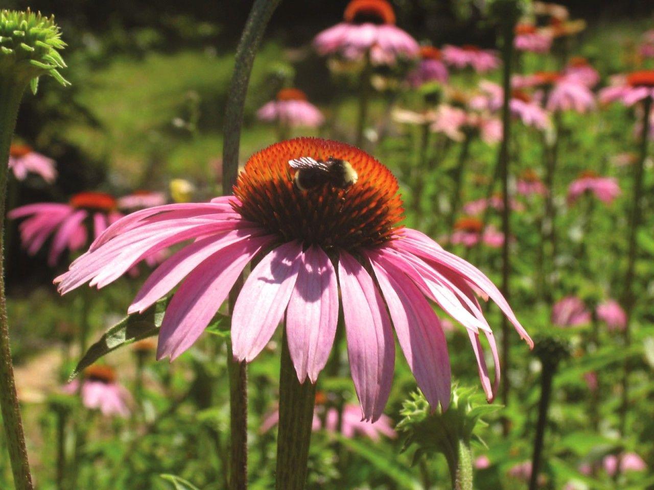 Echinacea - 7,5 ml  - Floressência