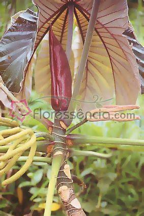 Embaúba - 10 ml  - Floressência