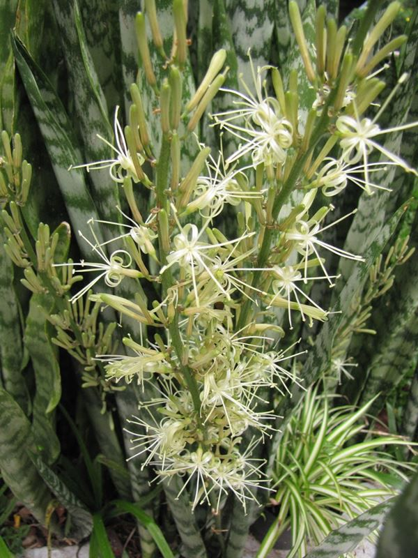 Espada de São Jorge - Filhas de Gaia - 10 ml  - Floressência