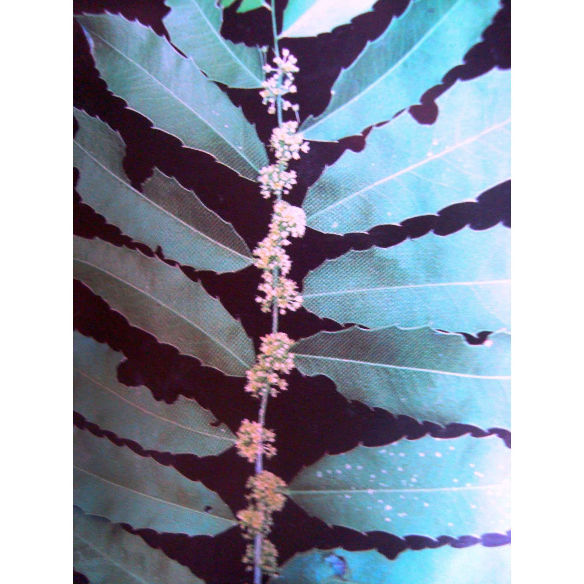 Espinheira Santa - 10 ml  - Floressência