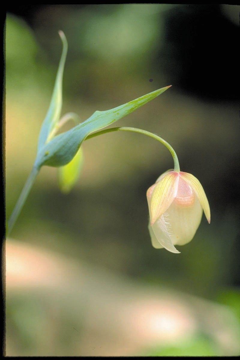 Fairy Lantern  - Floressência