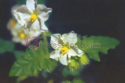 Flor Branca - 10 ml  - Floressência
