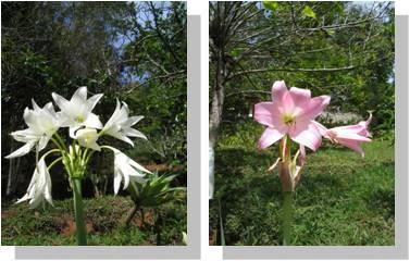 Flor da Imperatriz - 10 ml  - Floressência