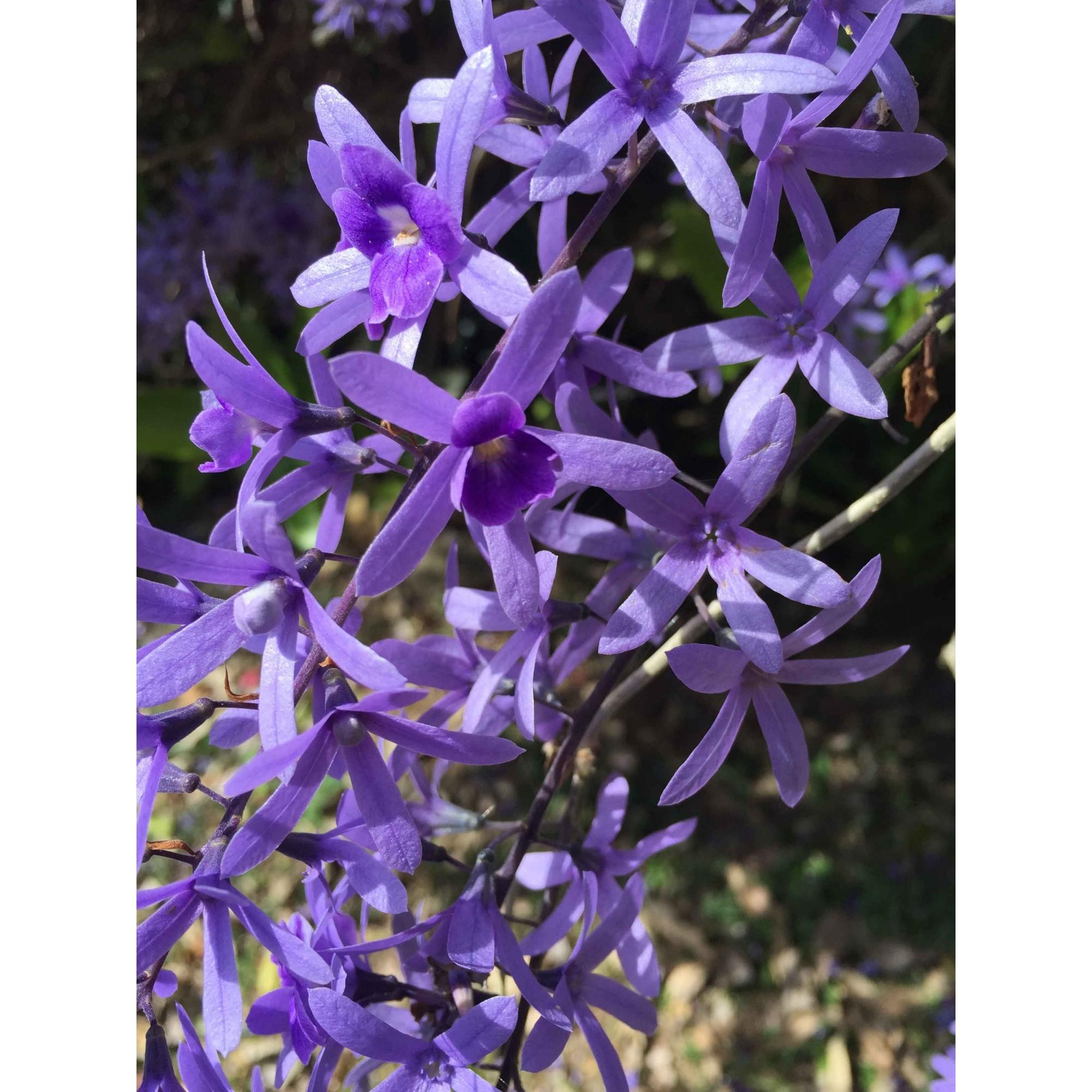 Flor-de-São Miguel - 10 ml  - Floressência