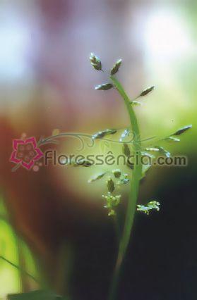 Focum - 10 ml  - Floressência