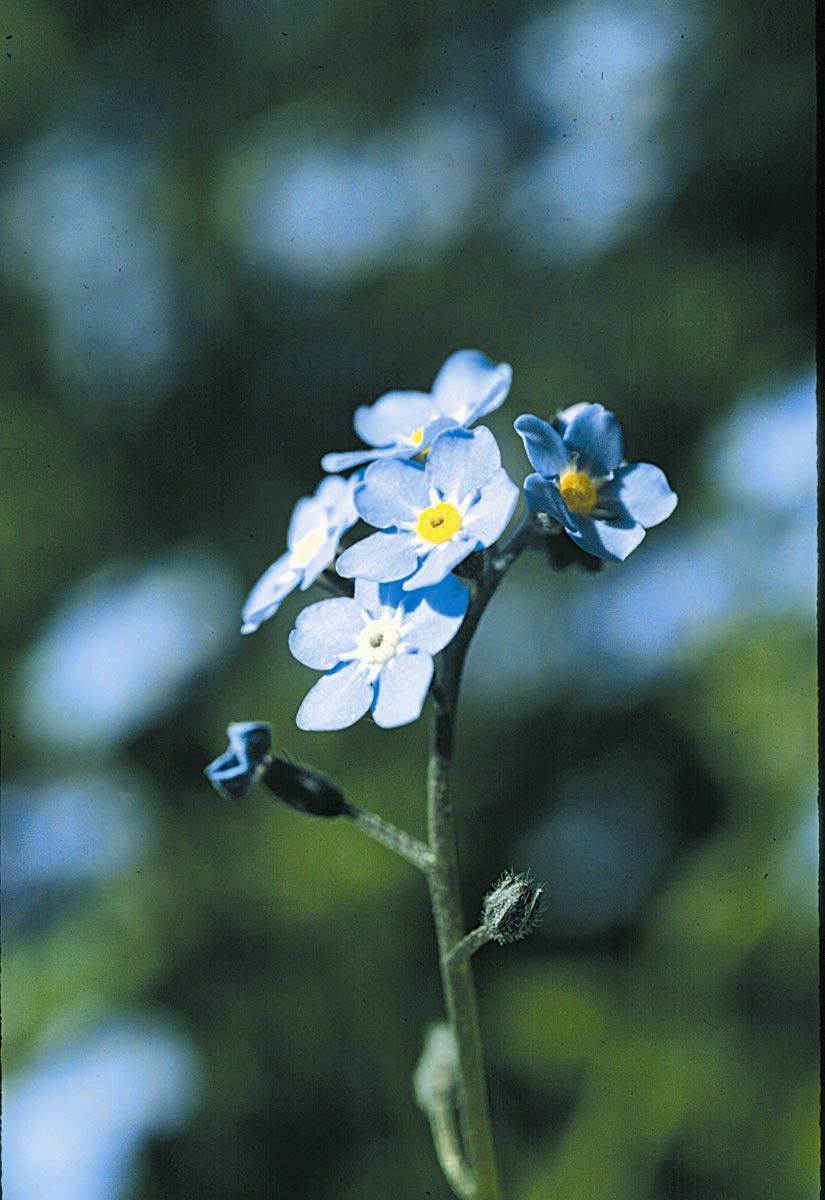 Forget-Me-Not  - Floressência
