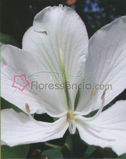 Fortificata - 10 ml  - Floressência