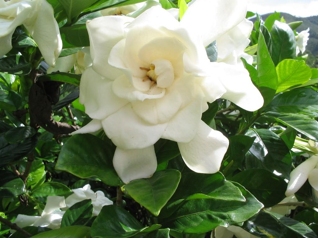 Gardênia - 10 ml  - Floressência