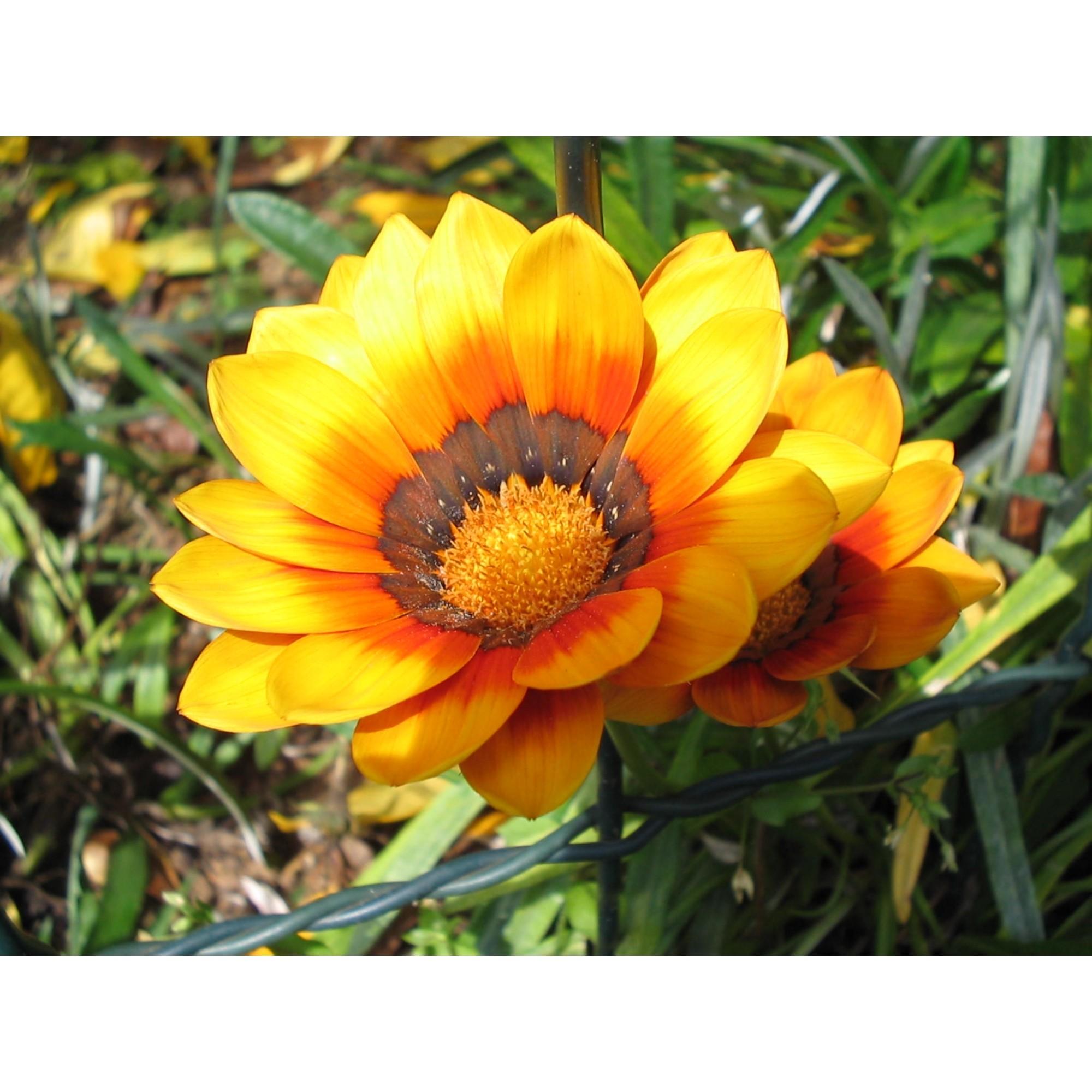 Gazânia - 10 ml  - Floressência
