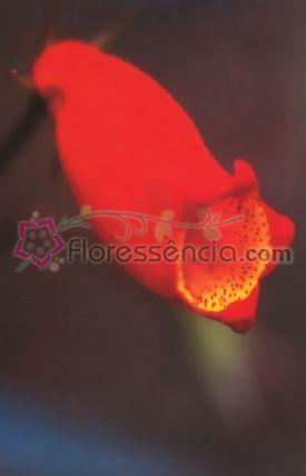 Gloxínia - 10 ml  - Floressência