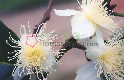 Goiaba - 10 ml  - Floressência