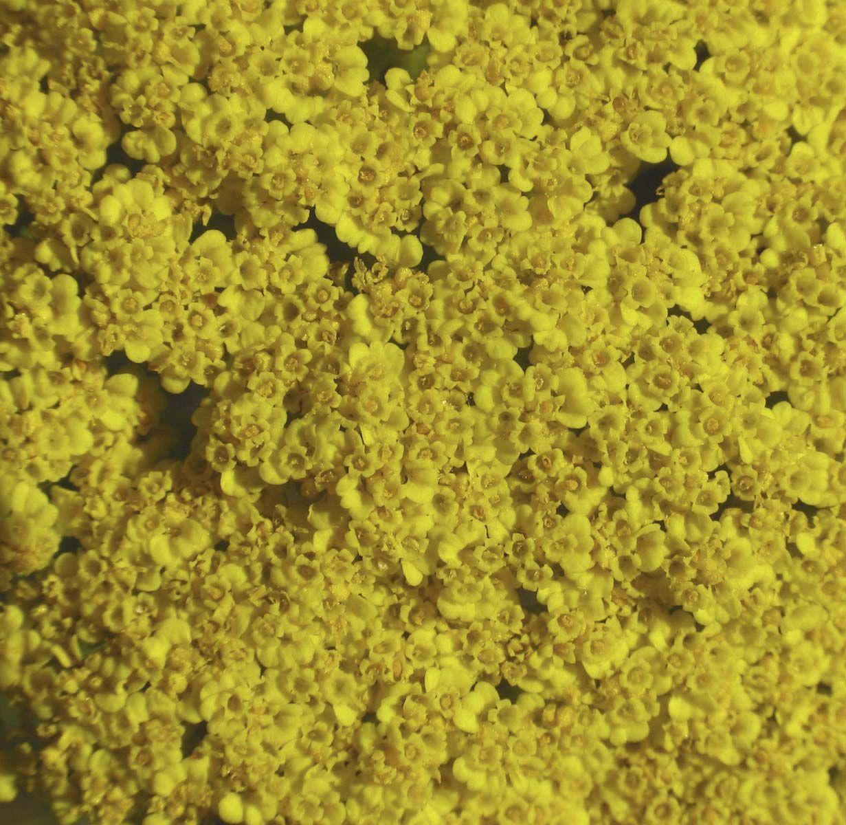 Golden Yarrow  - Floressência