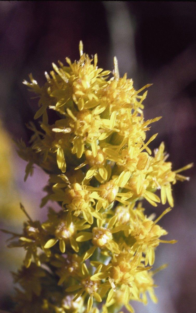 Goldenrod  - Floressência