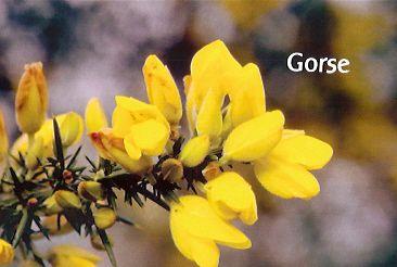Gorse - 30 ml  - Floressência