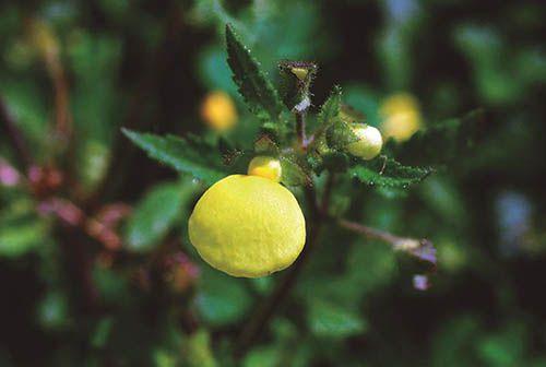 Gota de Ouro - 10 ml  - Floressência