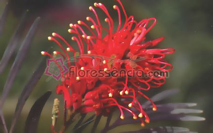 Grevílea - 10 ml  - Floressência