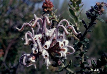 Grey Spider Flower - 15 ml - Floressência
