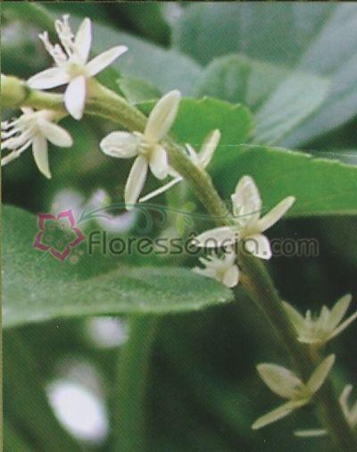 Guinea - 10 ml  - Floressência
