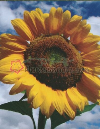 Helianthus - 10 ml  - Floressência