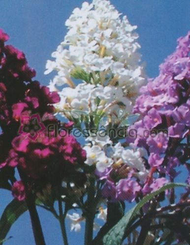 Heliotropium - 10 ml  - Floressência