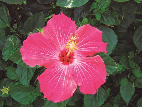 Hibisco Rosa - 10 ml  - Floressência