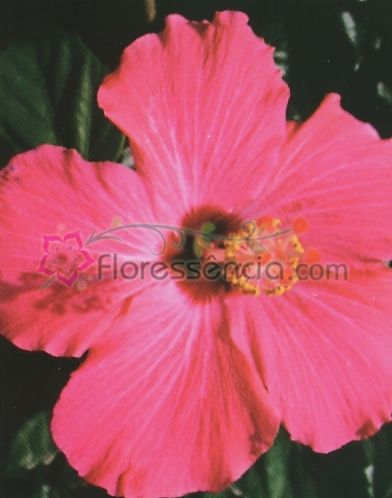 Hibiscus - 10 ml  - Floressência