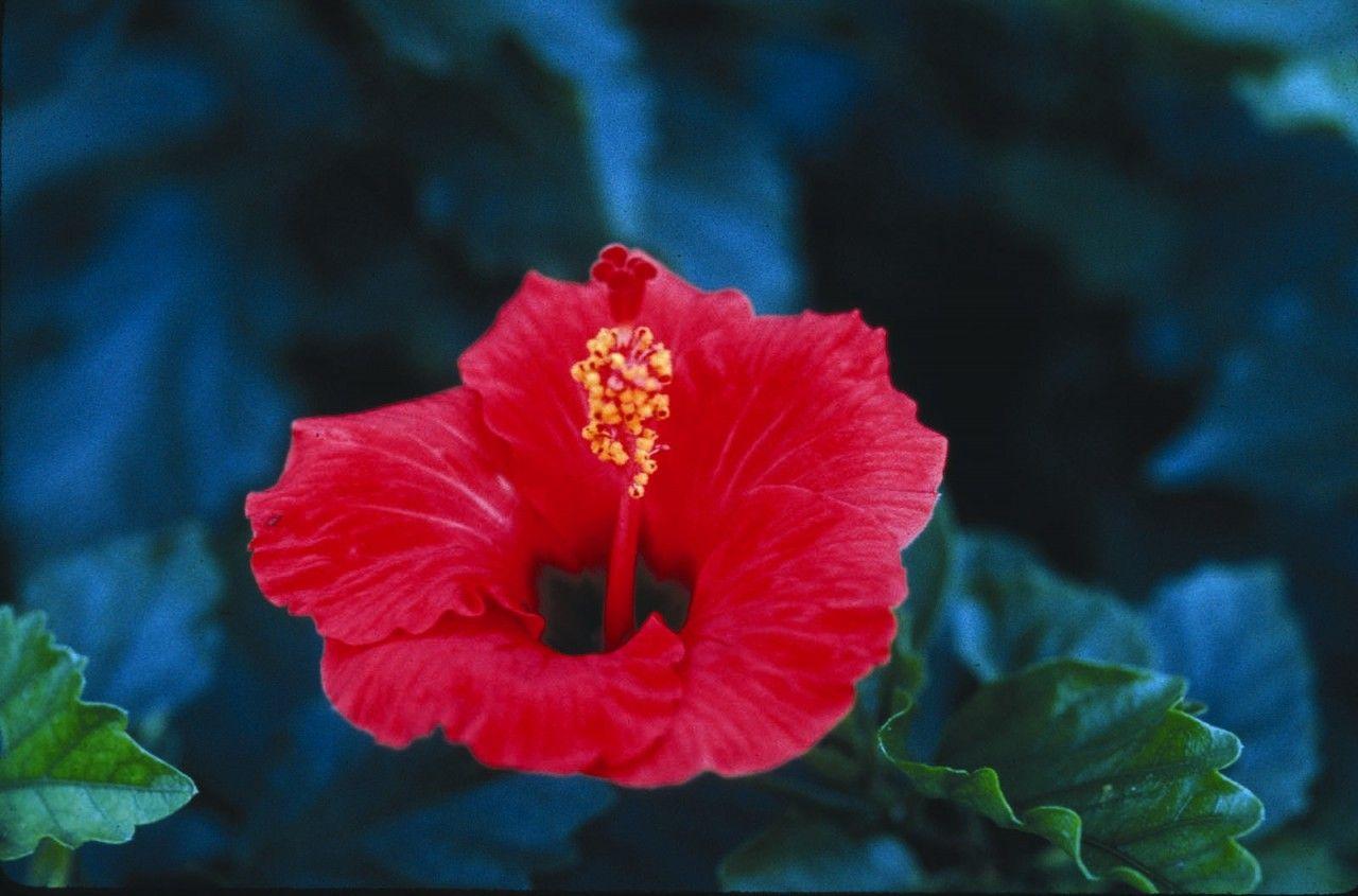 Hibiscus - 7,5 ml  - Floressência
