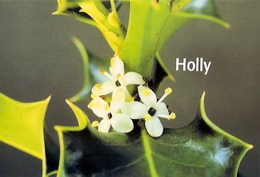 Holly - 10 ml  - Floressência