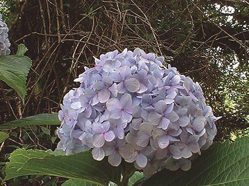 Hortência - 10 ml  - Floressência