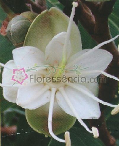 Hymenaea - 10 ml  - Floressência