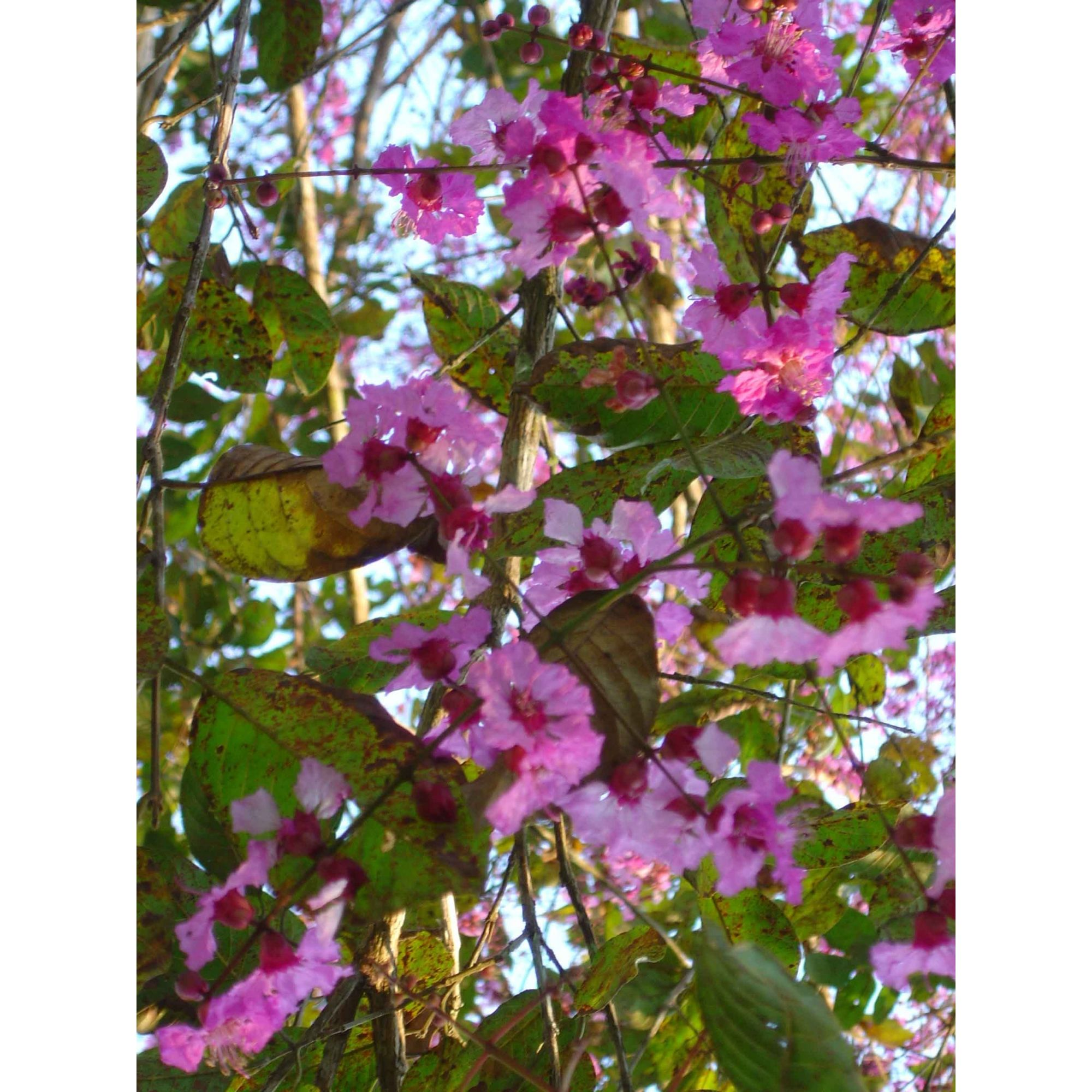 Inayinthi-Ion - 10 ml  - Floressência