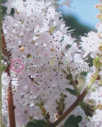 Incensus - 10 ml  - Floressência