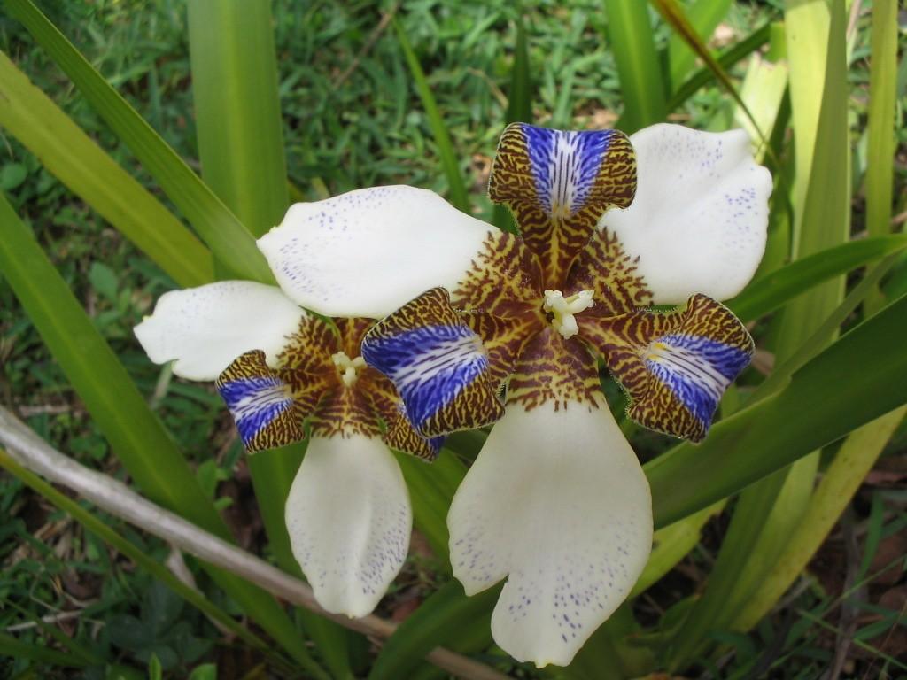 Iris-da-Praia - 10 ml  - Floressência