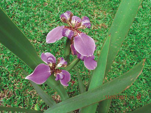 Iris - Filhas de Gaia -  10 ml  - Floressência