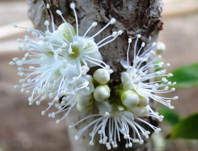 Jabuticaba - 10 ml  - Floressência