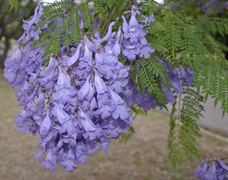 Jacarandá -  Filhas de Gaia - 10 ml  - Floressência