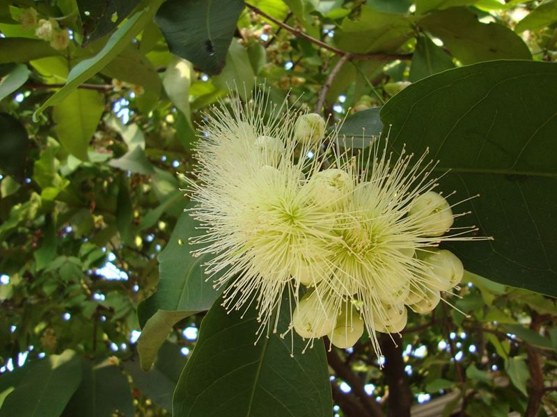 Jambo Branco - 10 ml  - Floressência