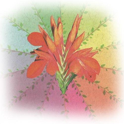 Jandaíra - 10 ml  - Floressência