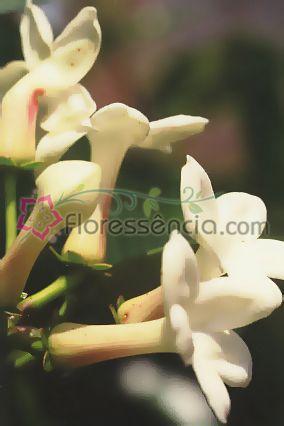 Jasmim Madagascar - 10 ml  - Floressência