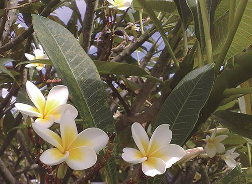 Jasmim Manga - 10 ml  - Floressência