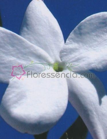 Jasminum - 10 ml  - Floressência