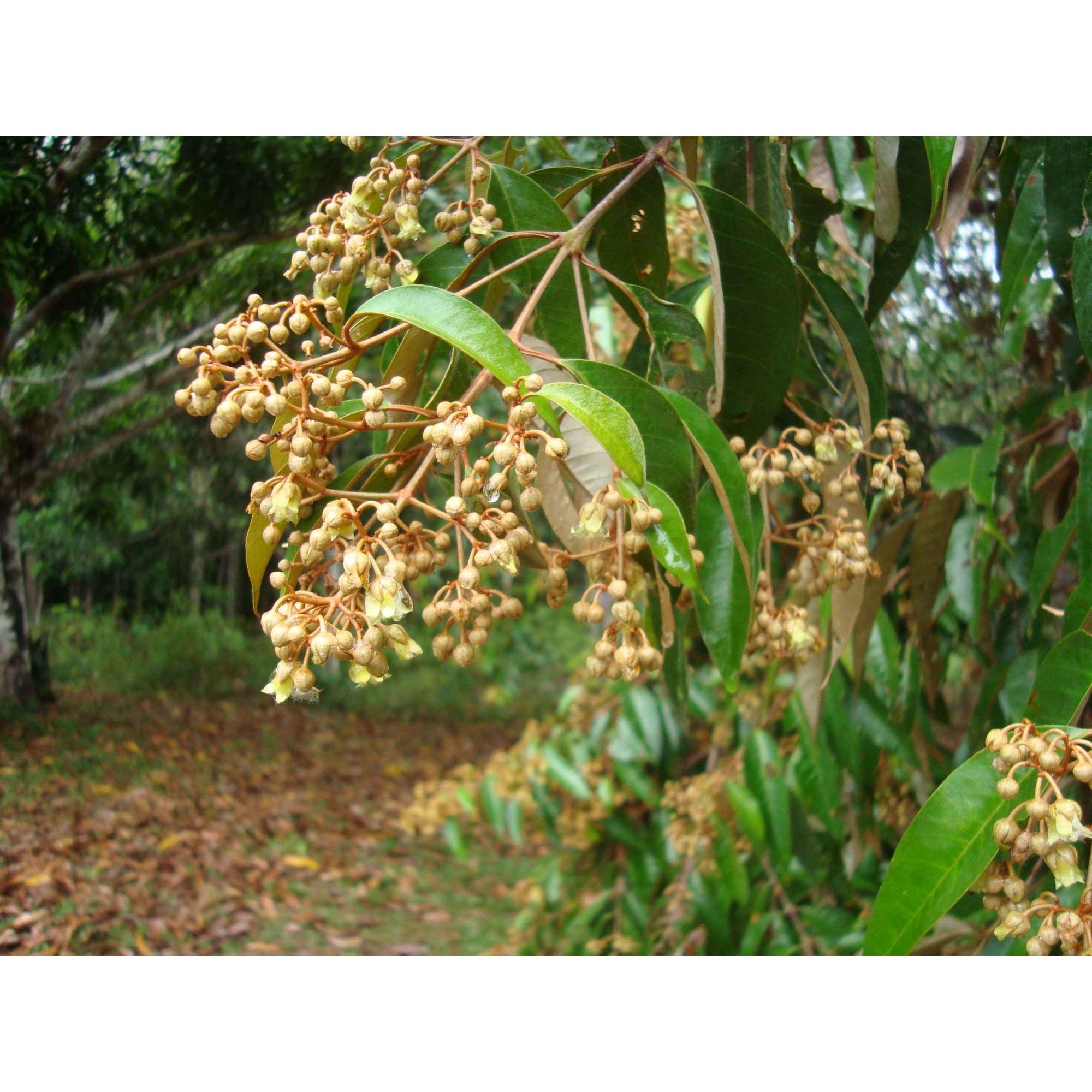 Lacre - 10 ml  - Floressência