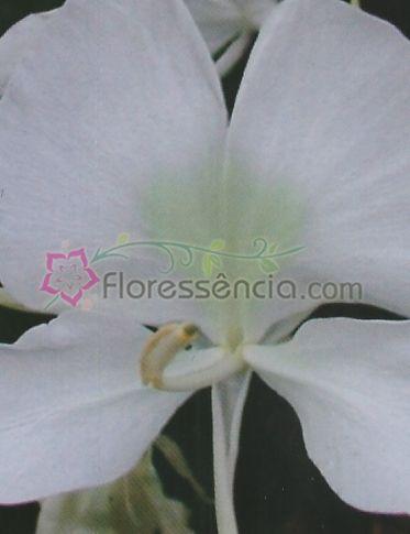 Lacrima - 10 ml  - Floressência