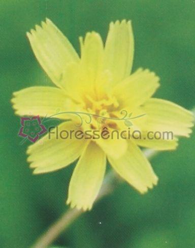 Lactuca - 10 ml  - Floressência