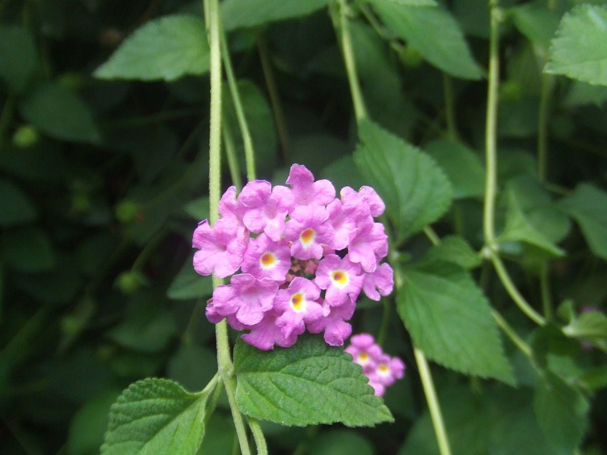 Lantana Lilás - 10 ml  - Floressência