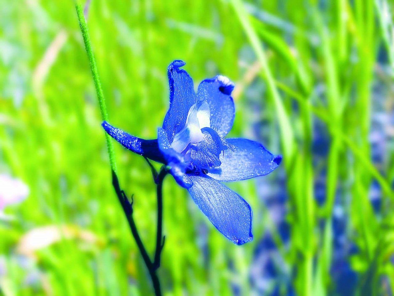 Larkspur - 7,5 ml  - Floressência