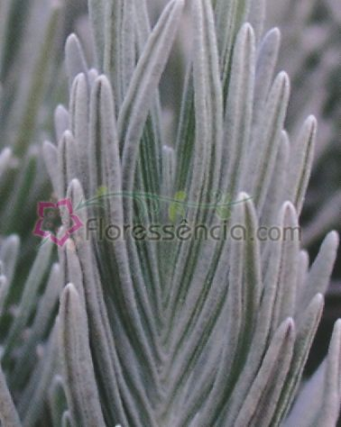 Lavandula - 10 ml  - Floressência
